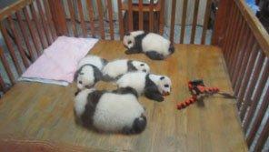 Chengdu's baby pandas