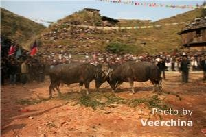 Zhuang cattle festival