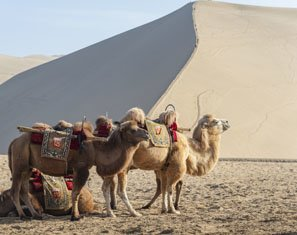 Camels in China