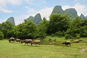 Water buffaloes grazing in Guilin