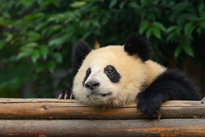 Giant panda enjoy low-stree lifestyle