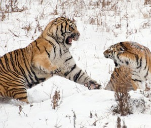 Siberian tigers