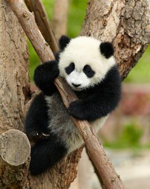 giant pandas love climbing trees