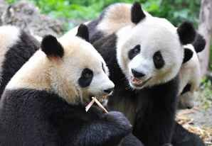 lovely giant pandas