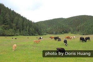 A herd of cattle on a green meadow near Lijiang in summer