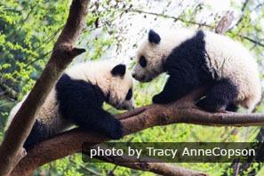 Les pandas dans l'barre
