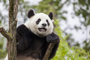 Giant pandas are fond of climbing trees