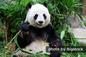 Giant panda eaiting bamboo