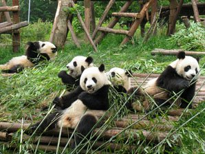Giant pandas at Chengdu Panda Breeding Center