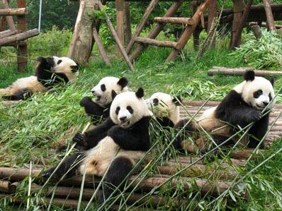 Panda animale