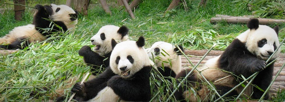 Giant Pandas - All Things You Want to Know