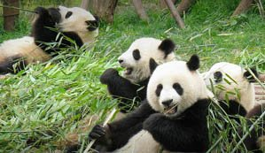 Chengdu,Home to Giant Panda