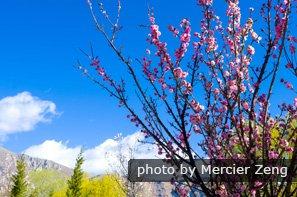 Enjoy peach blossom in Spring