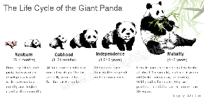 Giant Pandas Life Cycle
