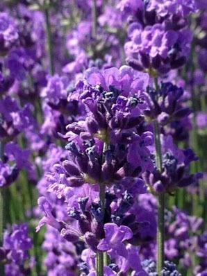 Landiao Lavender Garden