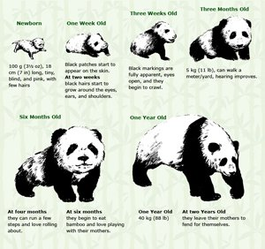 Baby Pandas - Their Growing Process