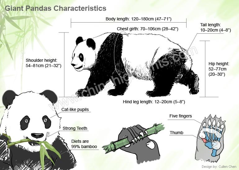 characteristics and appearance of china giant pandas : panda diagram - findchart.co