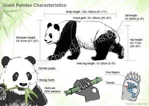 Giant Pandas Characteristics