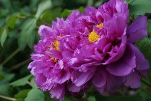 Prony blossom