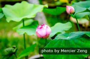 Lotuses in Western Hills Park