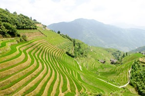 Longji rice terraces in July