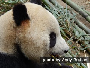 Chewing Bamboo, panda close up