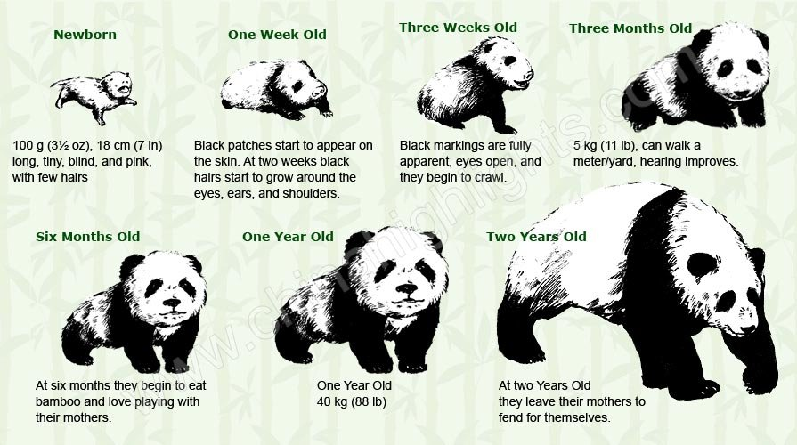 Baby panda and their growing process