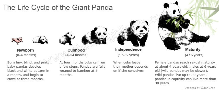 Life Cycle of the Giant Pandas- from Birth to Death