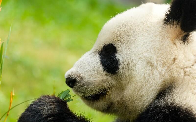 What Giant Pandas Eat — Bamboo, Fruits, and Panda Cakes