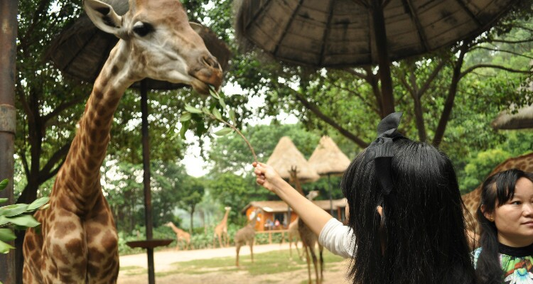 A visitor is feeding a giraffe in Chimelong Safari Park.