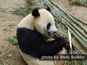 10 Fascinating Facts About Giant Pandas