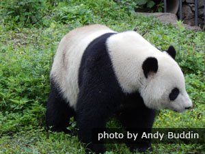 giant panda has black-and-white coat