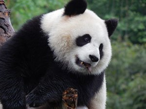 How Giant Pandas Became Famous in Western Countries