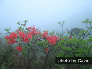 Azaleas on Cat Mountain