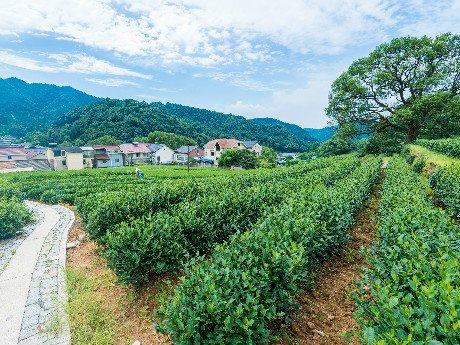 Meijiawu Tea Plantation