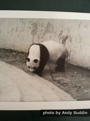 Panda Chi Chi in the 1960s in London Zoo