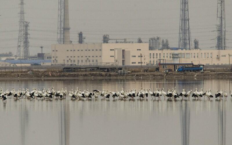 Tianjin Beidagang wetland birding