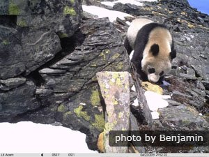 giant panda in wolong