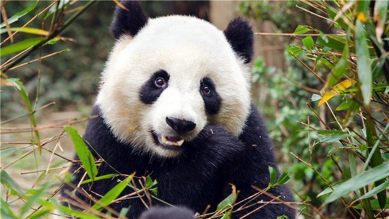 The giant panda in Chengdu Panda Breeding and Research Center