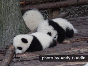 Panda cubs in the zoo