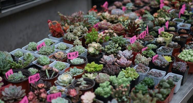 Tiny Succulent Plants at Dounan