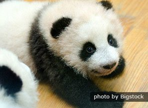 Top 8 Surprising Things You Didn T Know About Baby Pandas