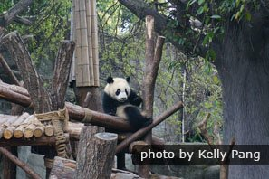 A panda in Chengdu Panda Breeding and Research Center