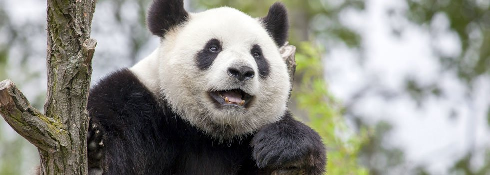 Giant Pandas — All the Things You Want to Know
