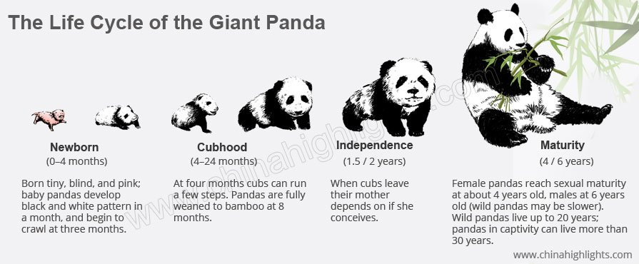 giant panda life cycle