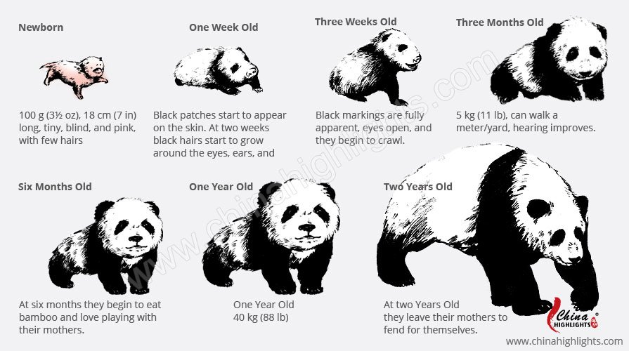 giant panda growing process