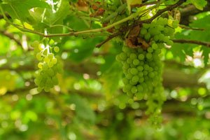 Turpan grapes