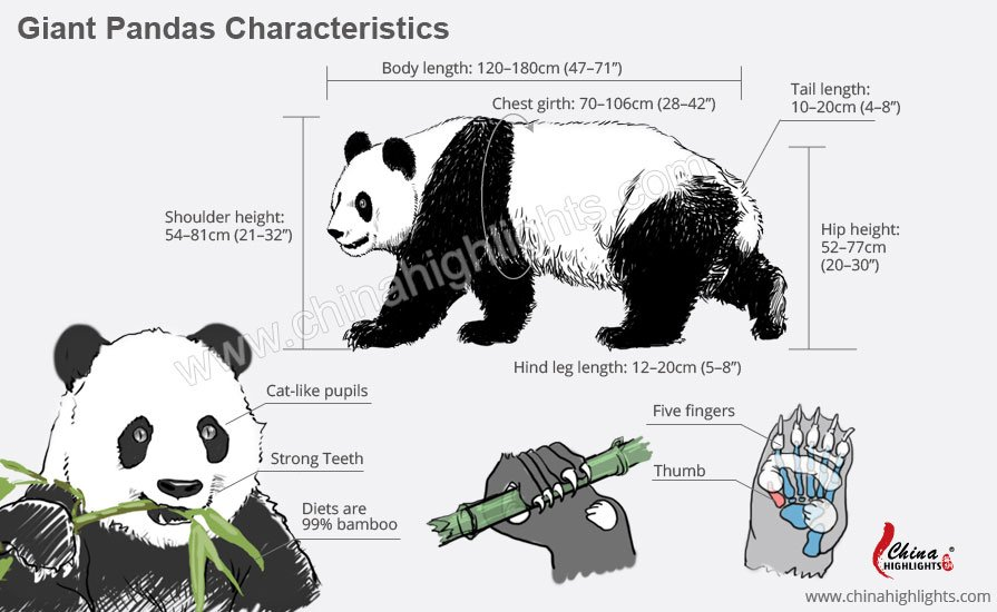 Characteristics and Appearance of China Giant Pandas
