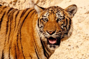 What's it mean for dreaming about a tiger