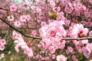 peach blossoms, a lucky fruit for Chinese New Year